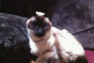 A sweet and lovely Siamese boy.