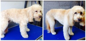 Lilly before and after her groom.