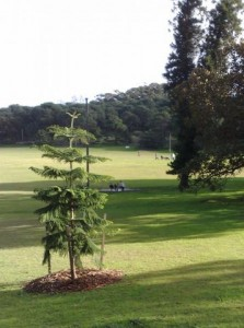 Cook pine decicated to Andrew & Ari, planted in Centennial Park.