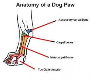 In comparison, the dog foot shows that the dog walks on tip toes all the time.