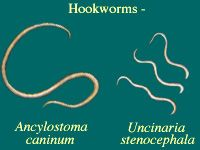 Intestinal worms can infest an animal even when worming tablets are given every three months.