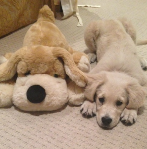 Ginny is a gorgeous 17 week old Golden Retriever