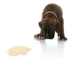 Urinary Incontinence in a Young Puppy